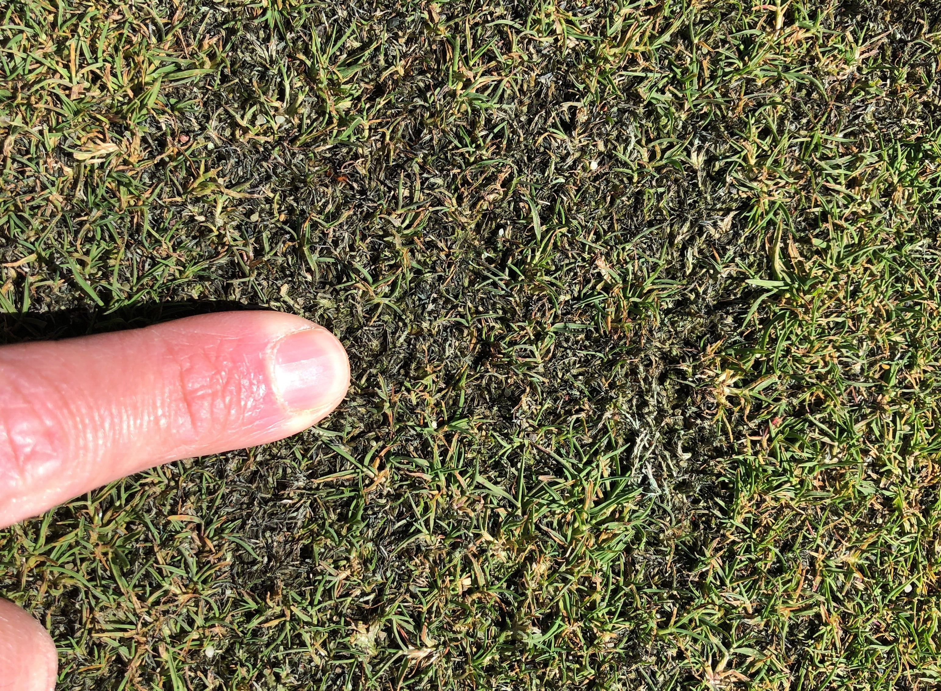 Up close bentgrass